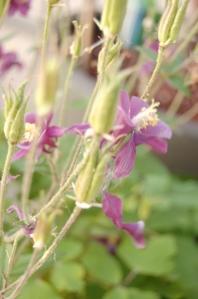 columbineflower1