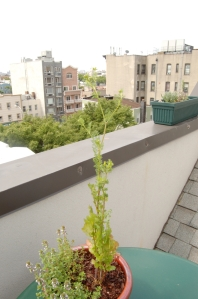 Fig. 1: Bolted cilantro plant