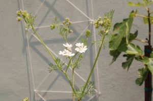 Fig. 2: Cilantro flower